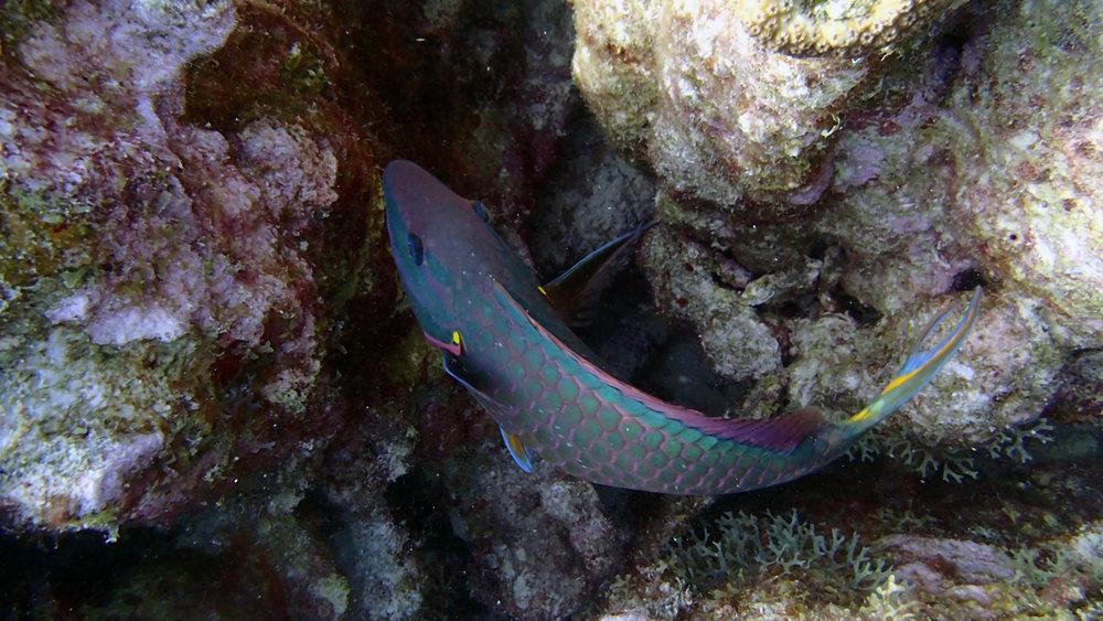 fearless parrotfish.jpg