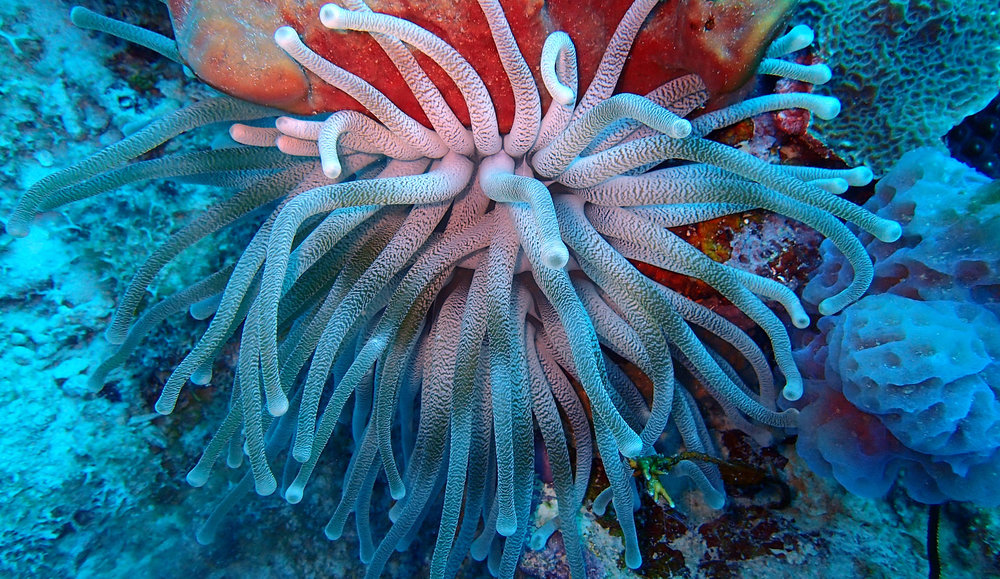 anemone at Chagogo.jpg