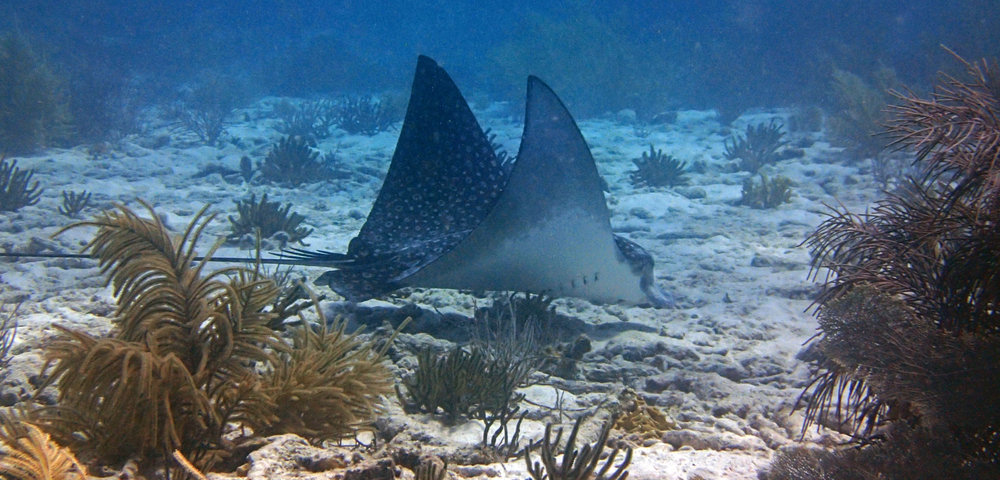 best eagle ray shot.jpg