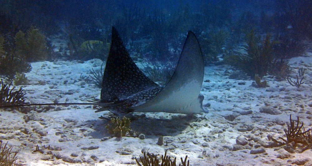 big eagle ray.jpg