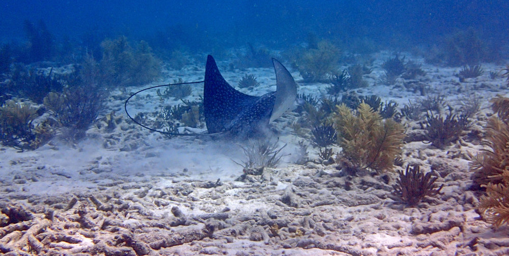 eagle ray Chagogo.jpg