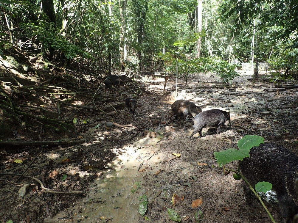 tapirs.jpg