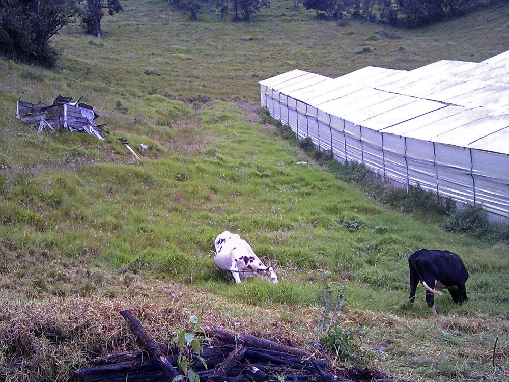 high mountain cows.jpg