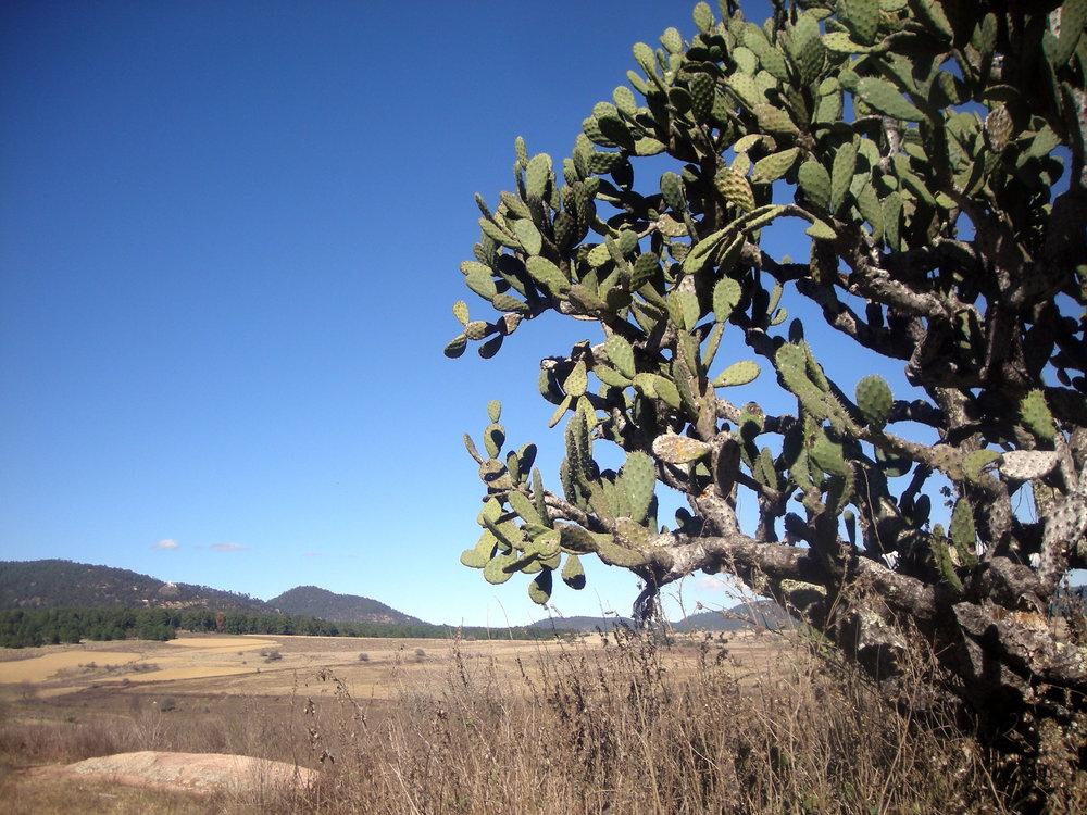 cactus near Tapalpa.jpg