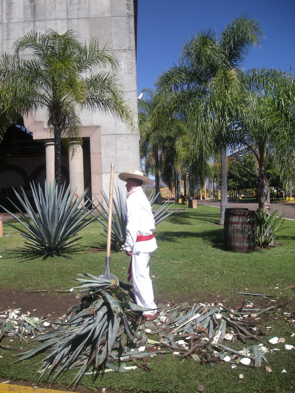 cutting agave.jpg