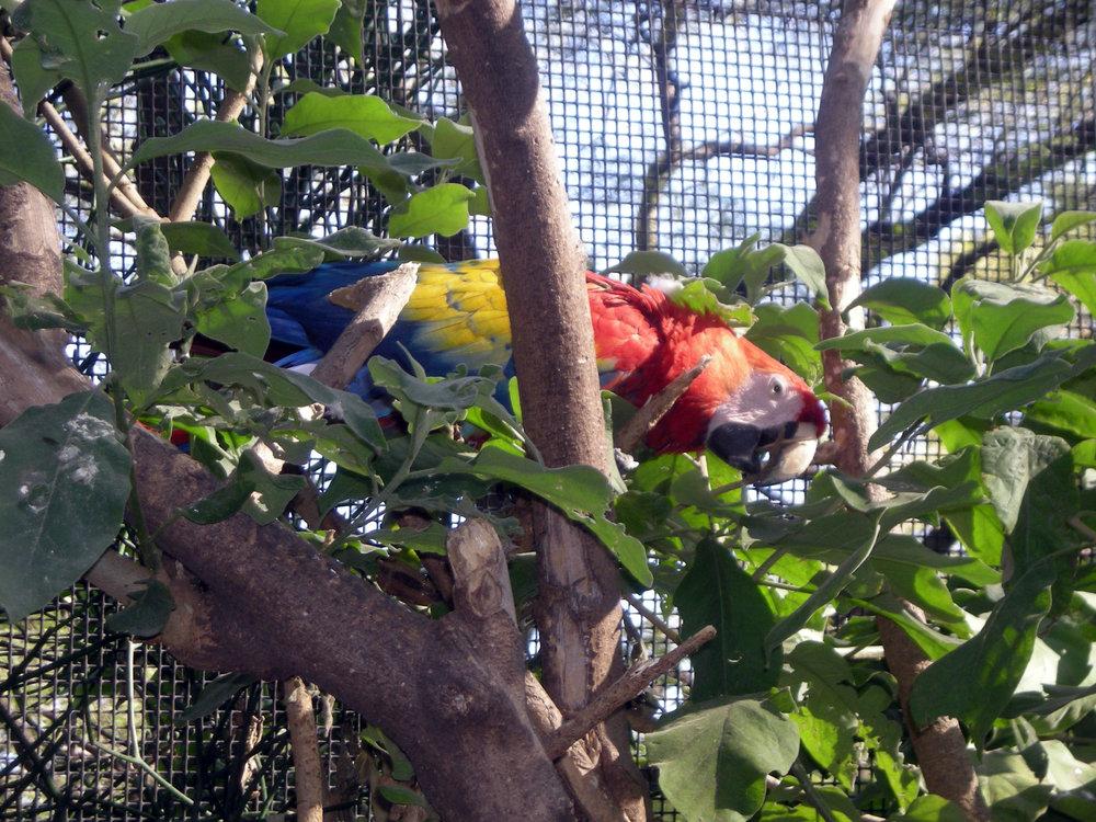 Guadalajara macaw.jpg