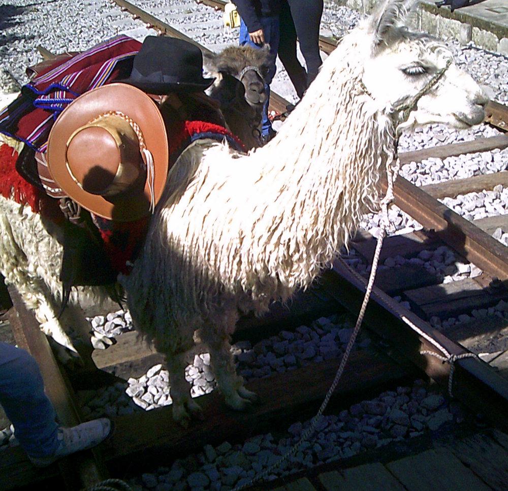 friendly llama.jpg
