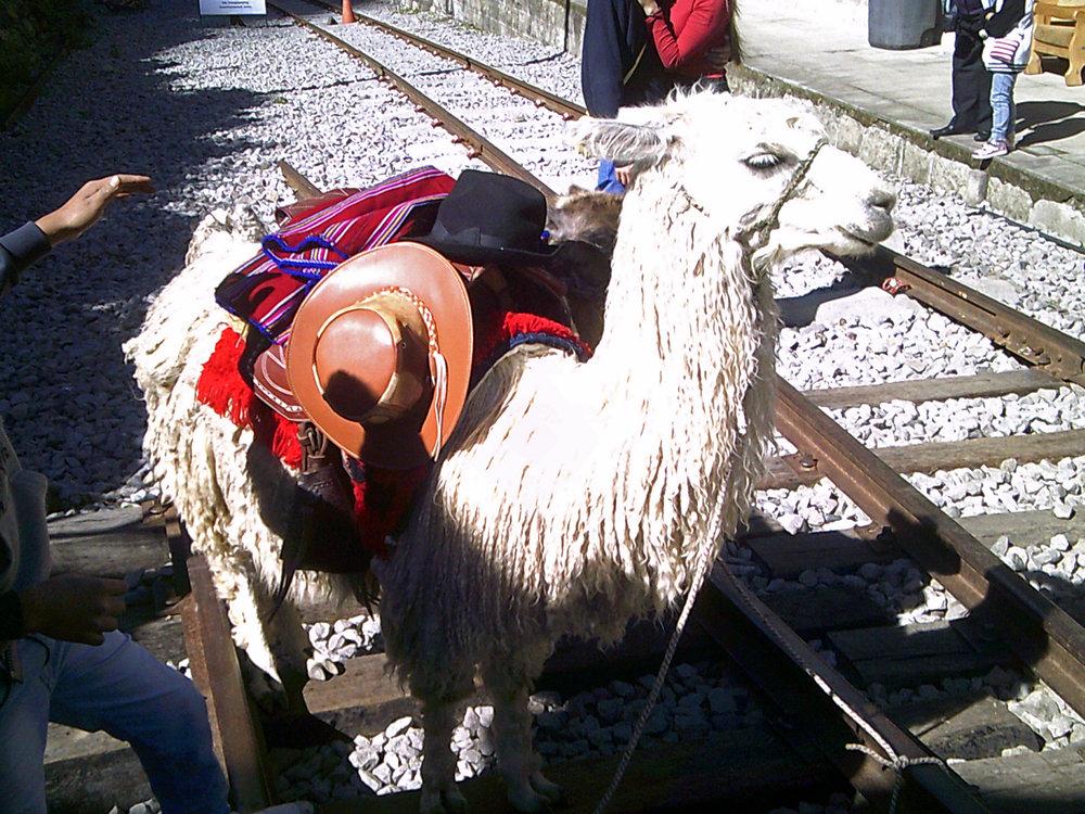 proud llama.jpg