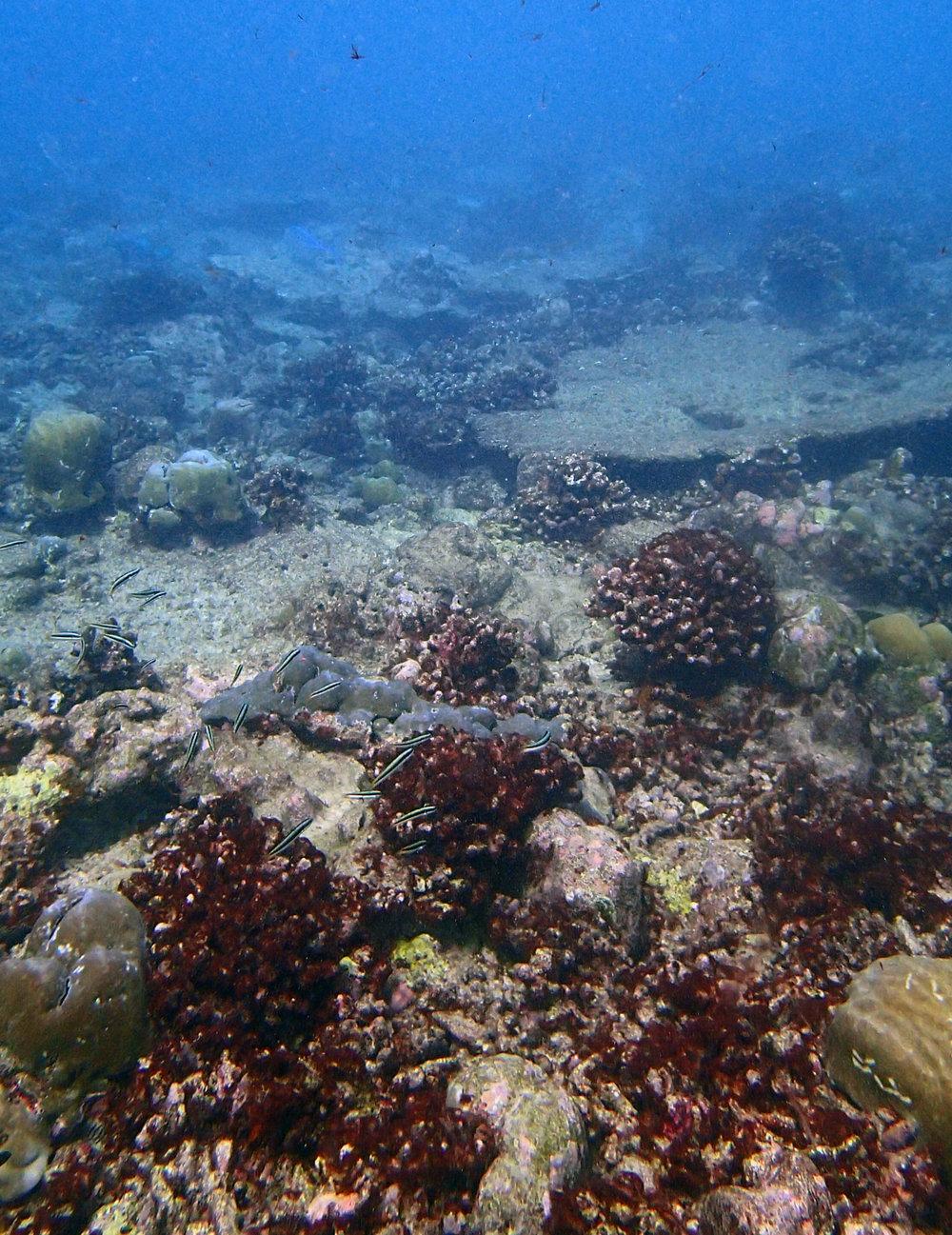 cyano reef.jpg
