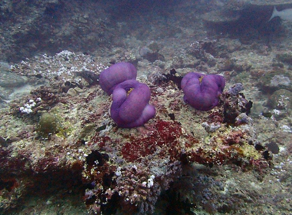 lonely anemones.jpg