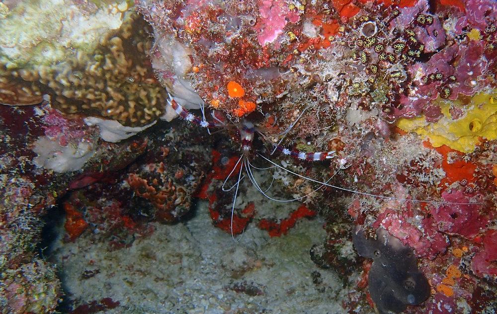 banded coral shrimp.jpg