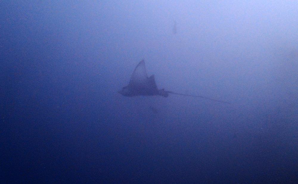 eagle ray.jpg
