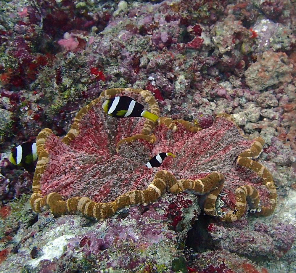 clownfish-anemone.jpg