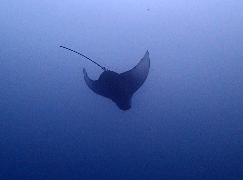 diving eagle ray.jpg