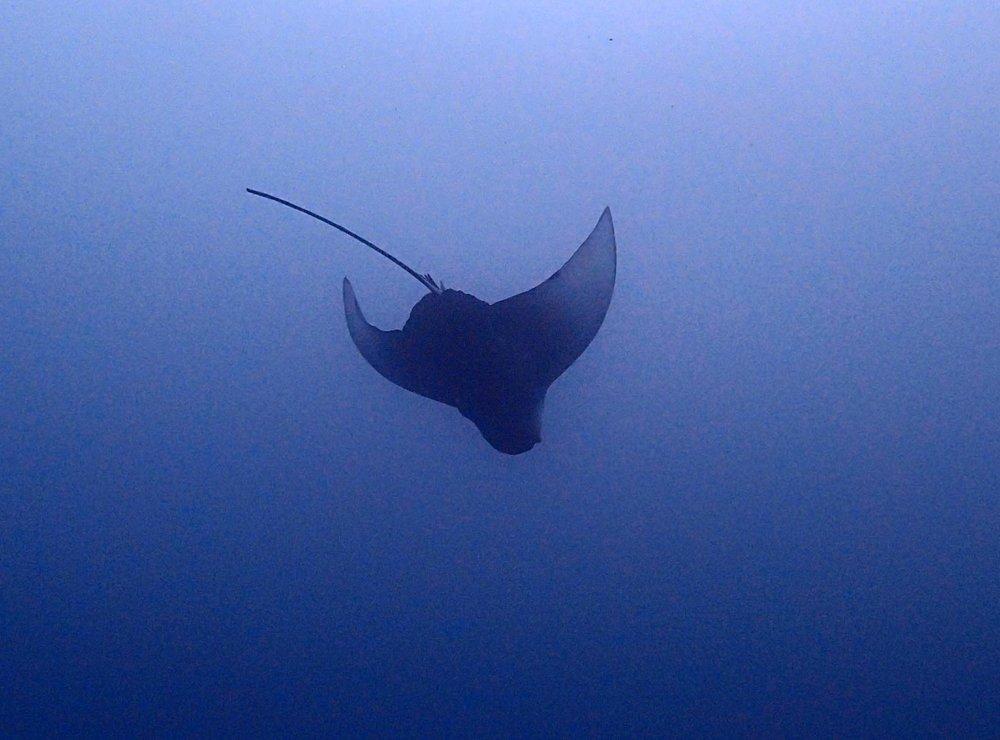 diving eagle ray.jpg