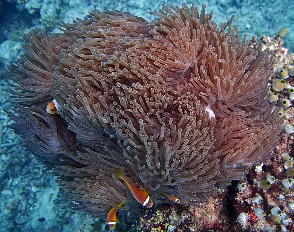 good anemone shot.jpg