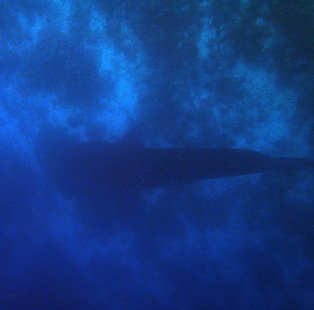 whale shark from above.jpg