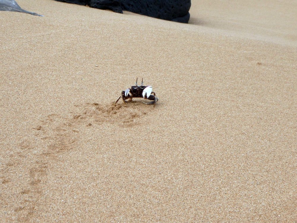 Moomomi ghost crab.jpg