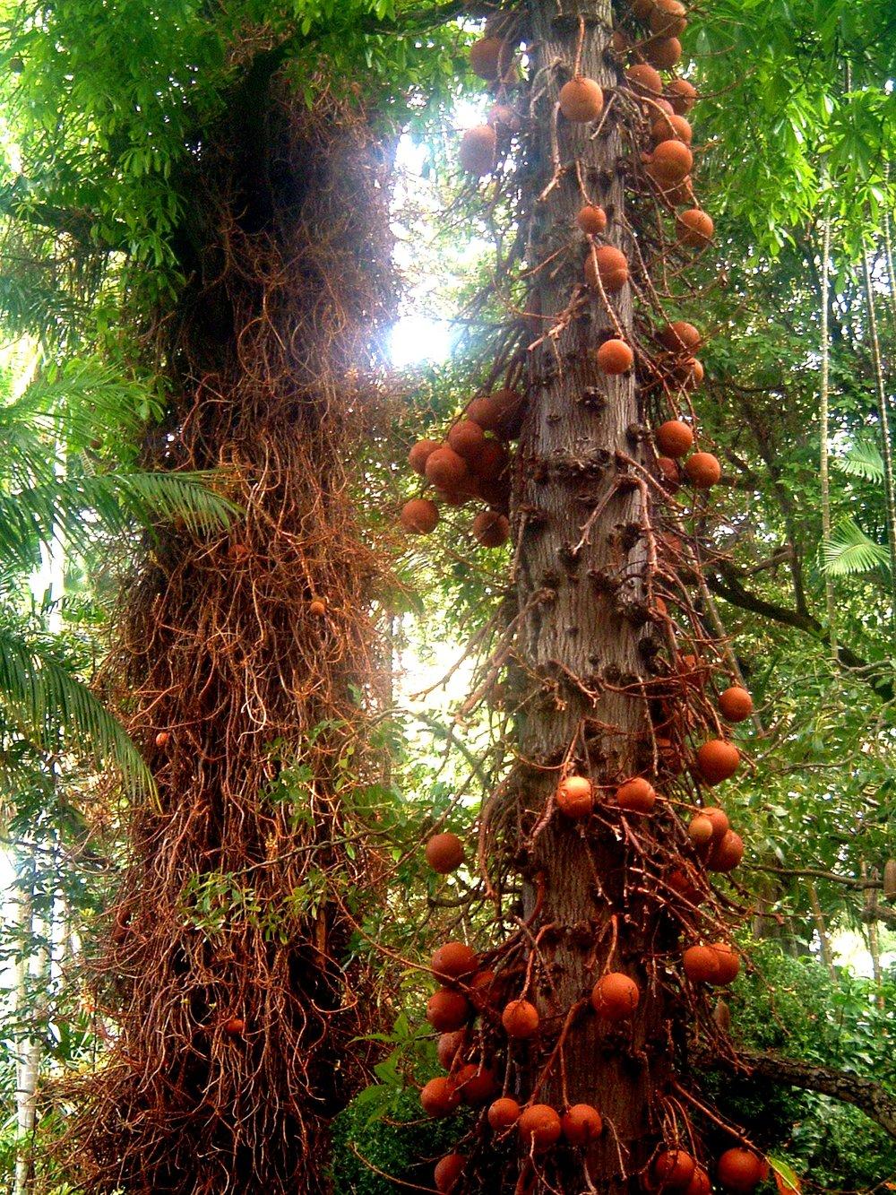 cannonball tree.JPG