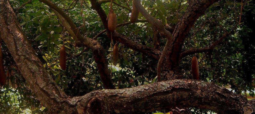 sausage tree.JPG