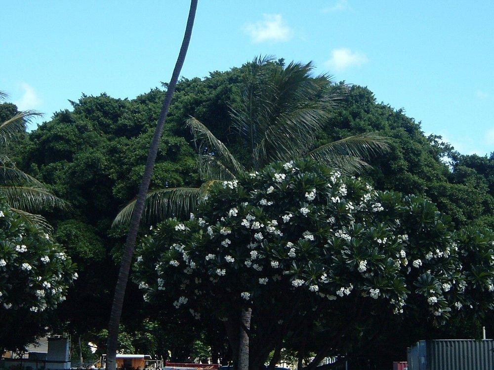 hawaii tree.jpg