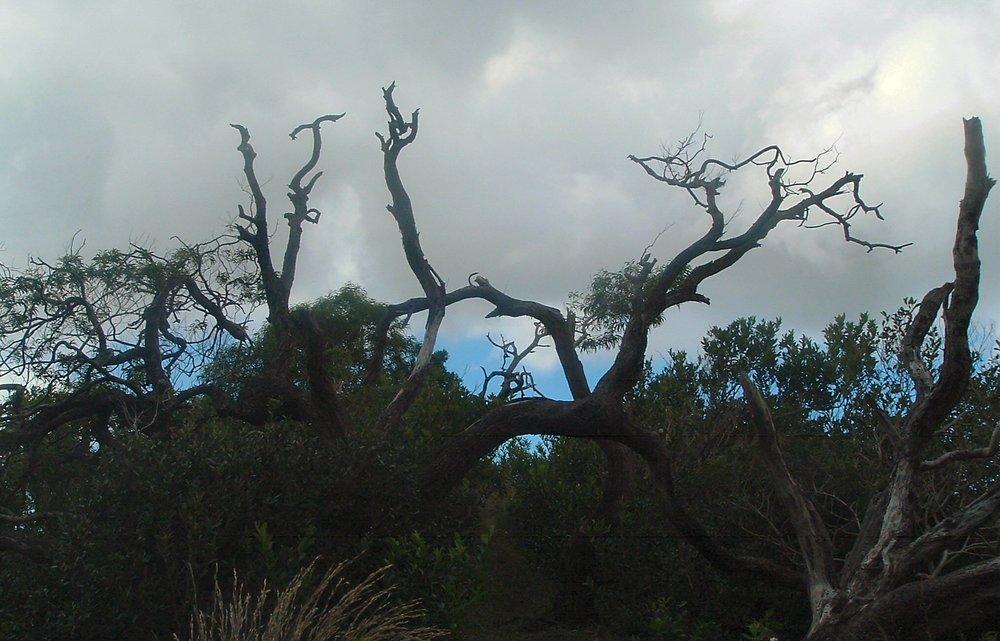cool tree at waahila ridge.jpg