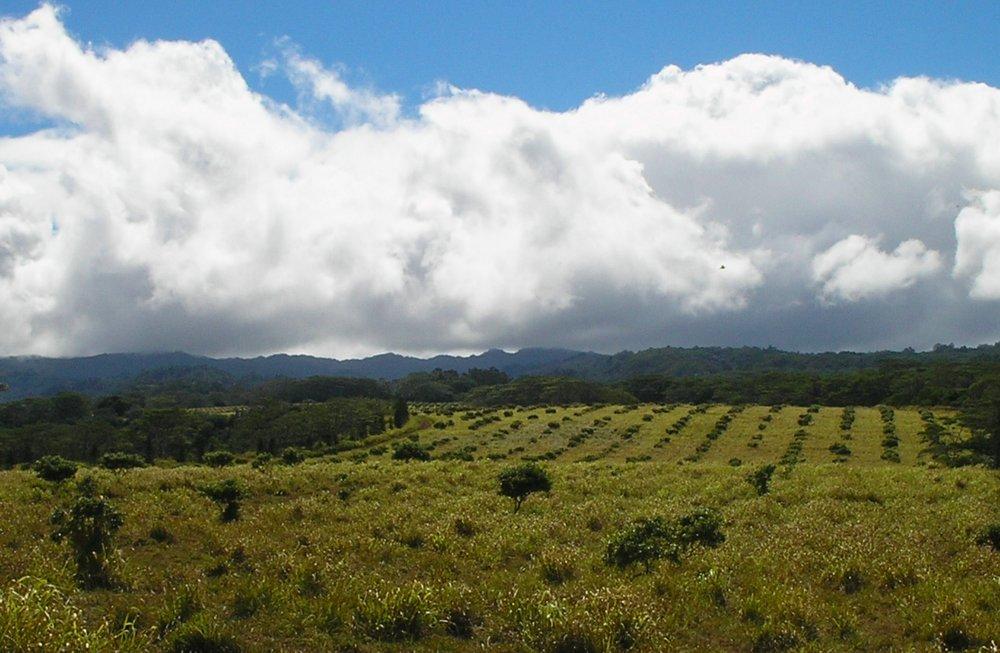 lychee field near wahiawa.jpg