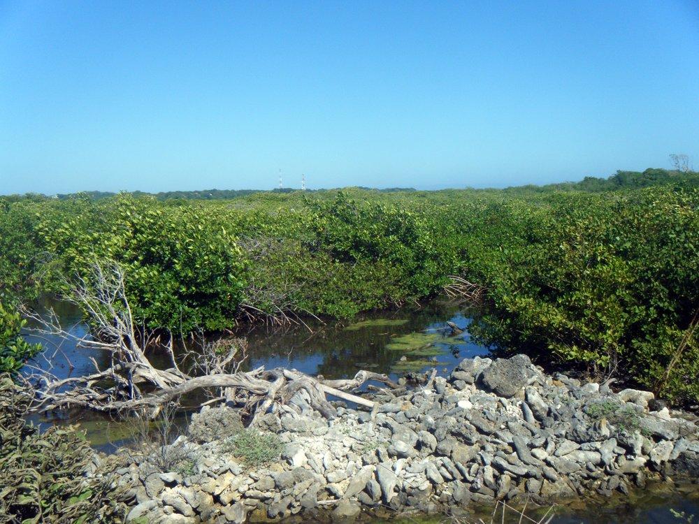 Utila mangroves 2.jpg