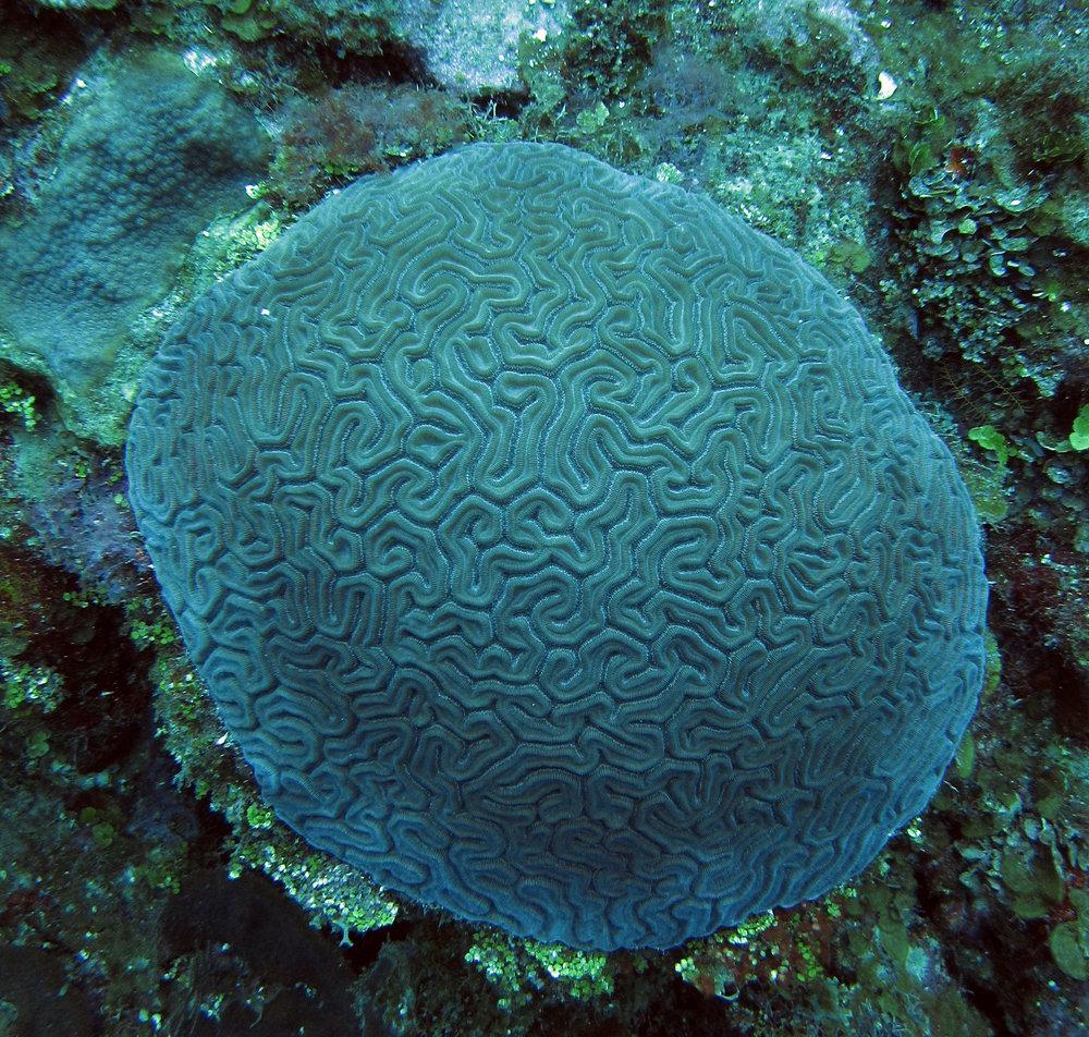 brain coral 2.jpg