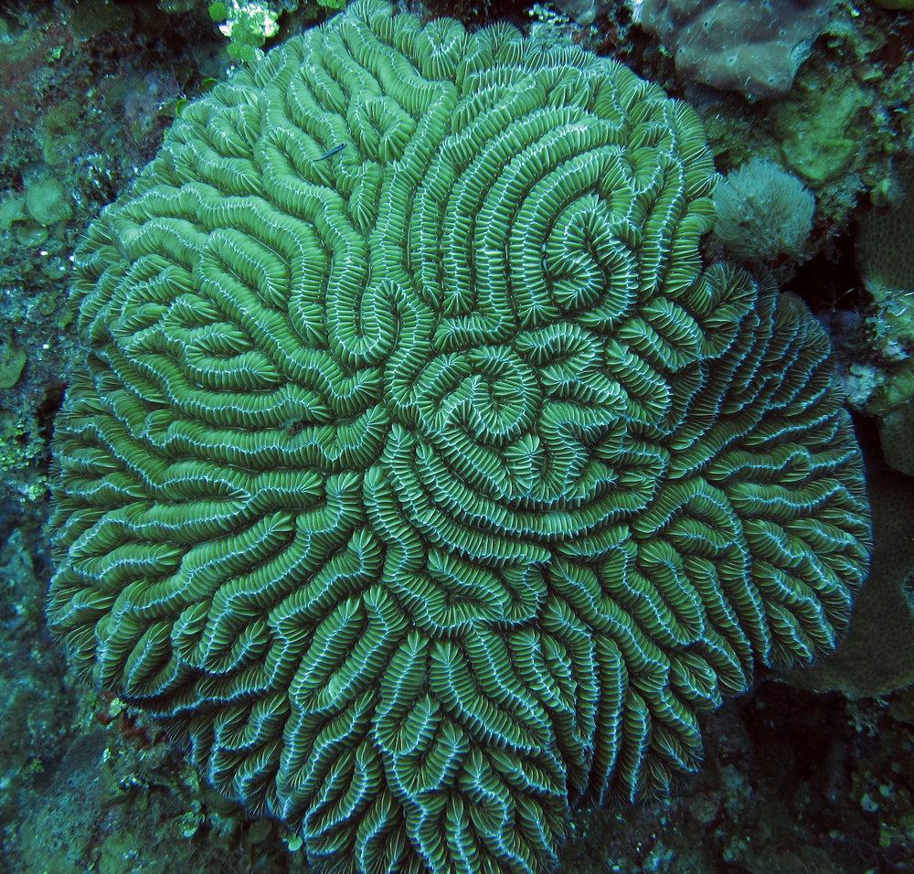 brain coral 3.jpg