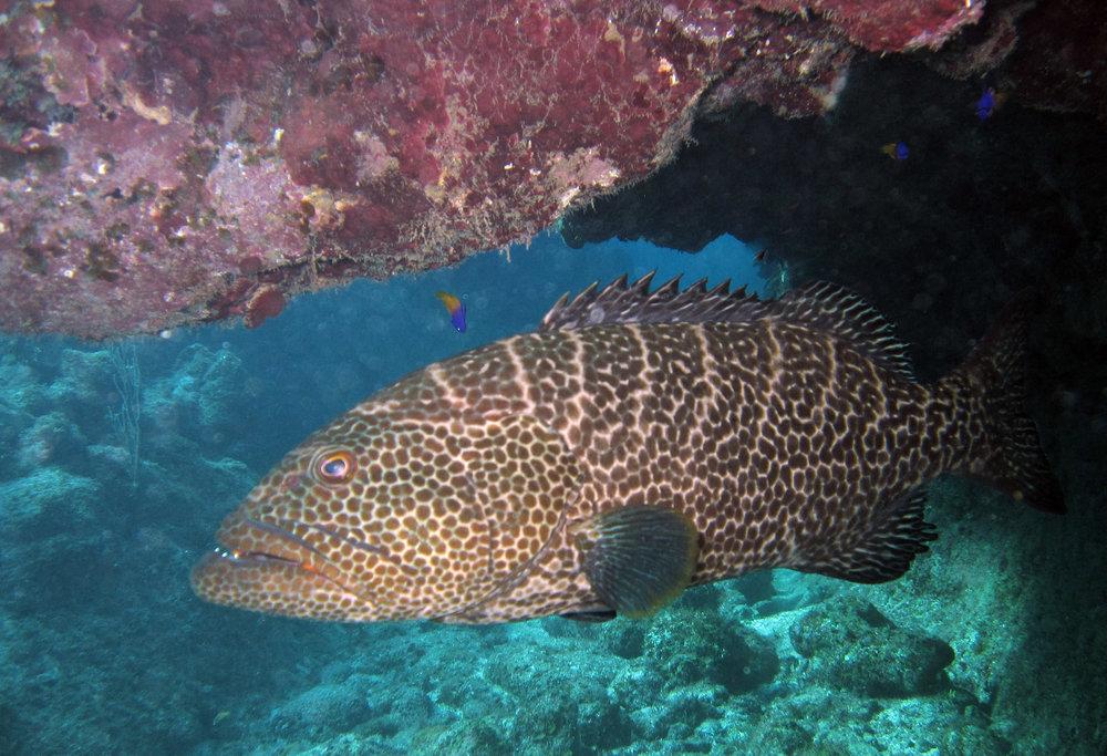 cave grouper.jpg