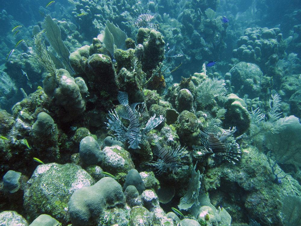 lionfish outbreak.jpg