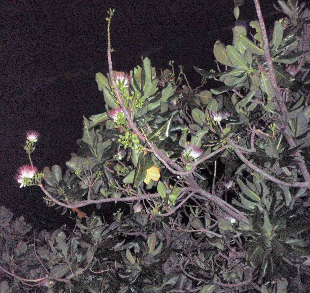 Kenting night flowers.jpg