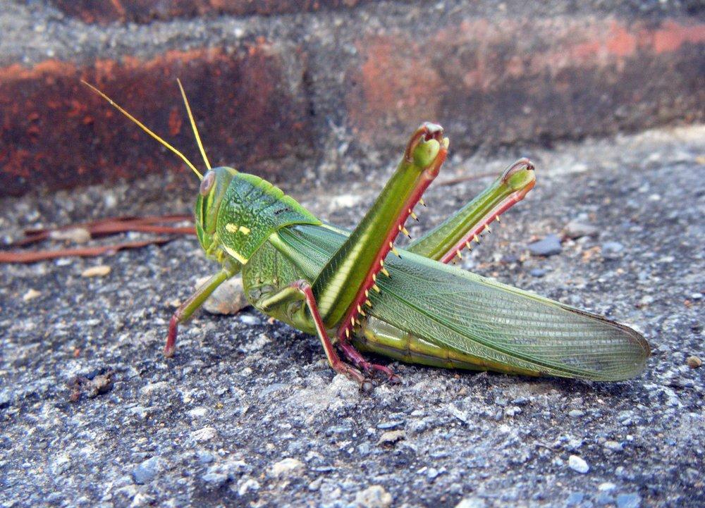 monster grasshopper 11-21-10.jpg