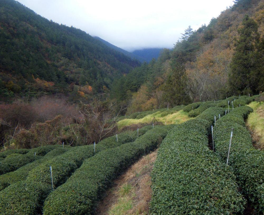 Wuling tea fields.jpg