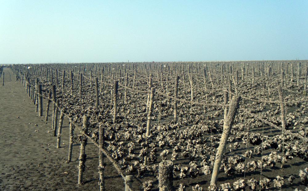 oyster fields.jpg