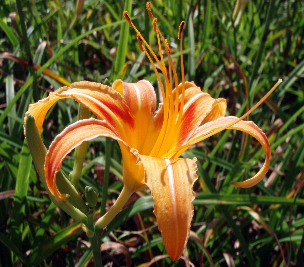 lily macro.jpg