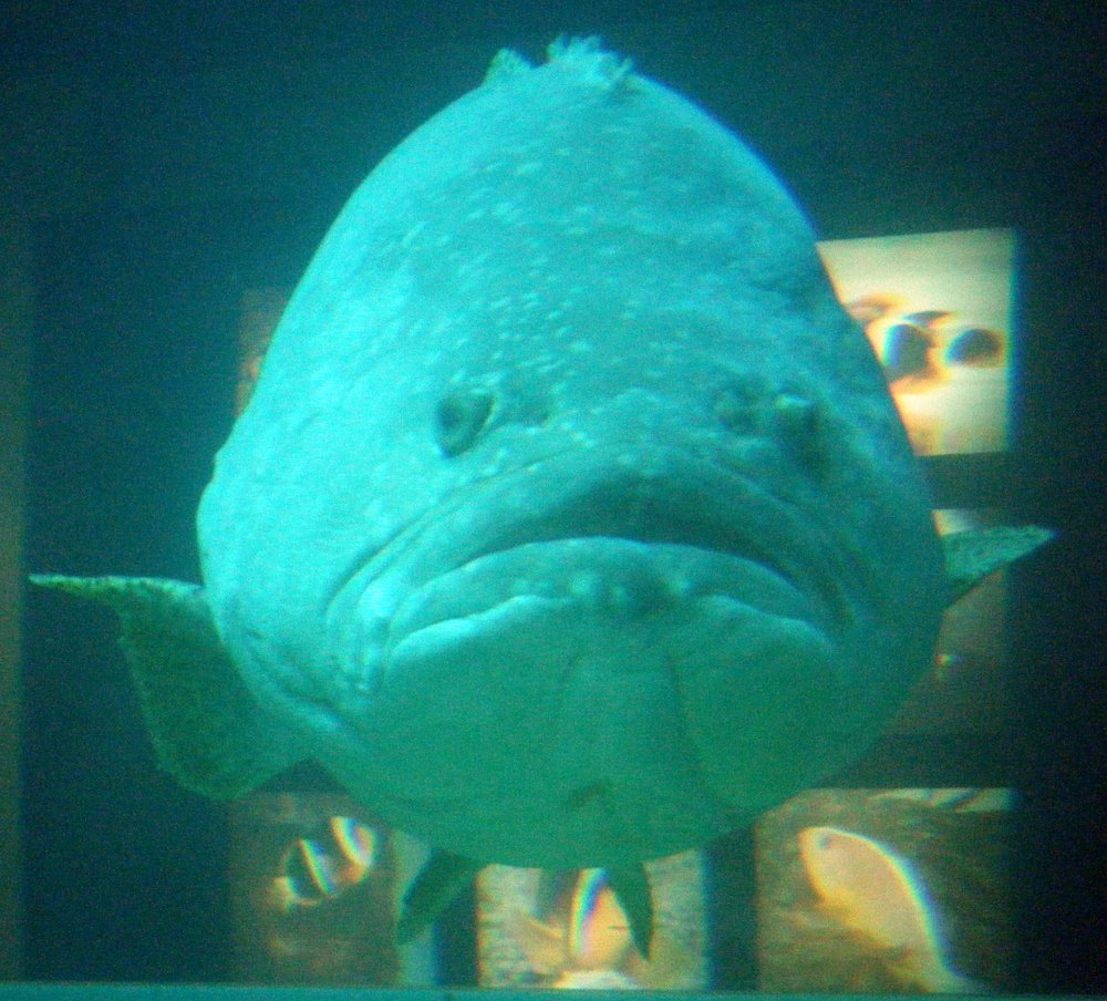giant grouper 4-20-11.jpg