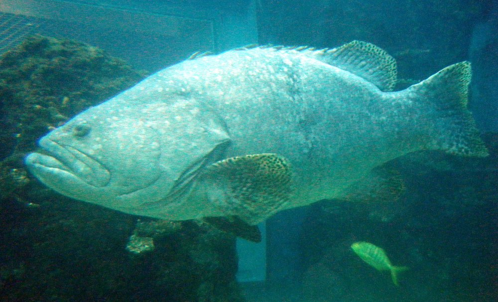 giant grouper.jpg