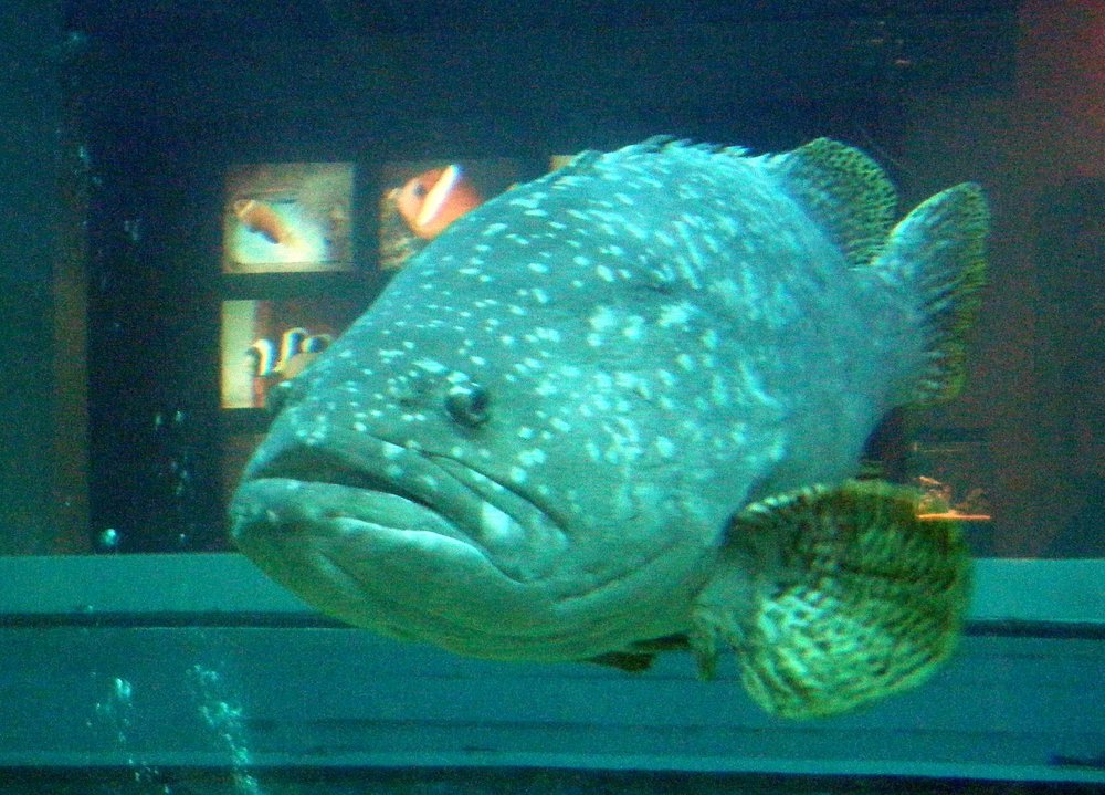 grouper in Chenggong aquarium.jpg