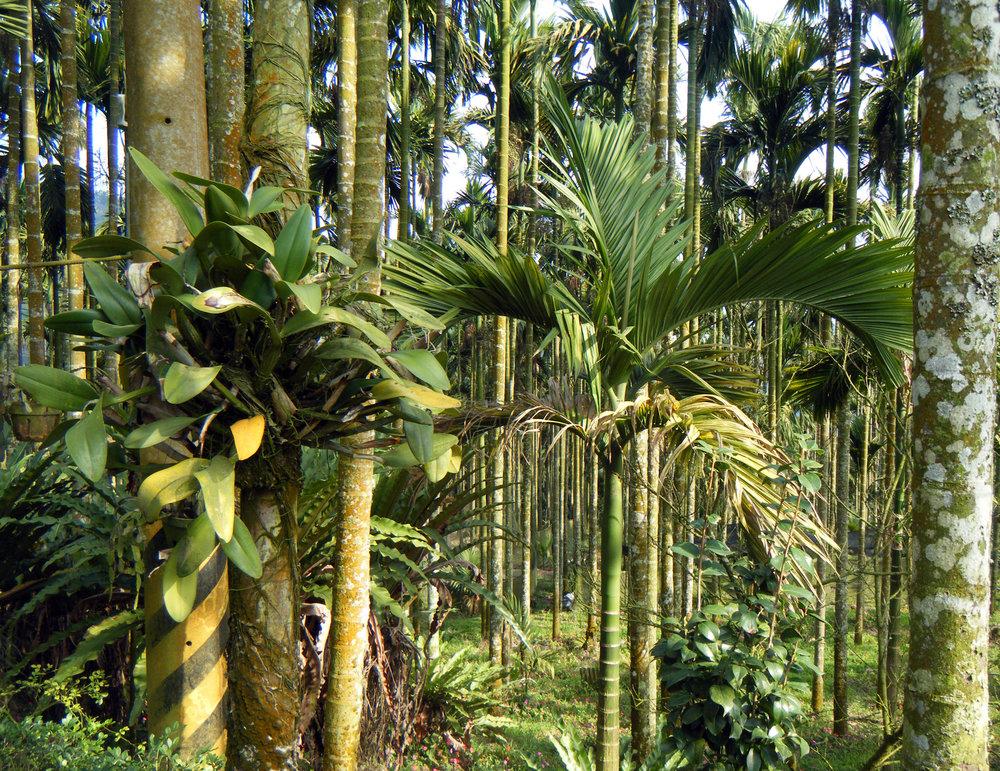 betelnut farm in Chiayi county.jpg