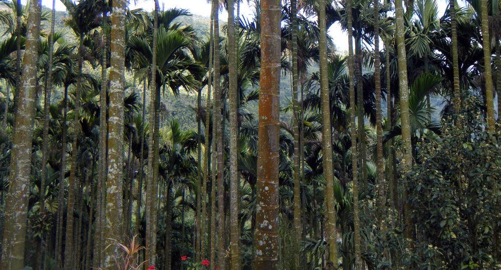 betelnut grove.jpg