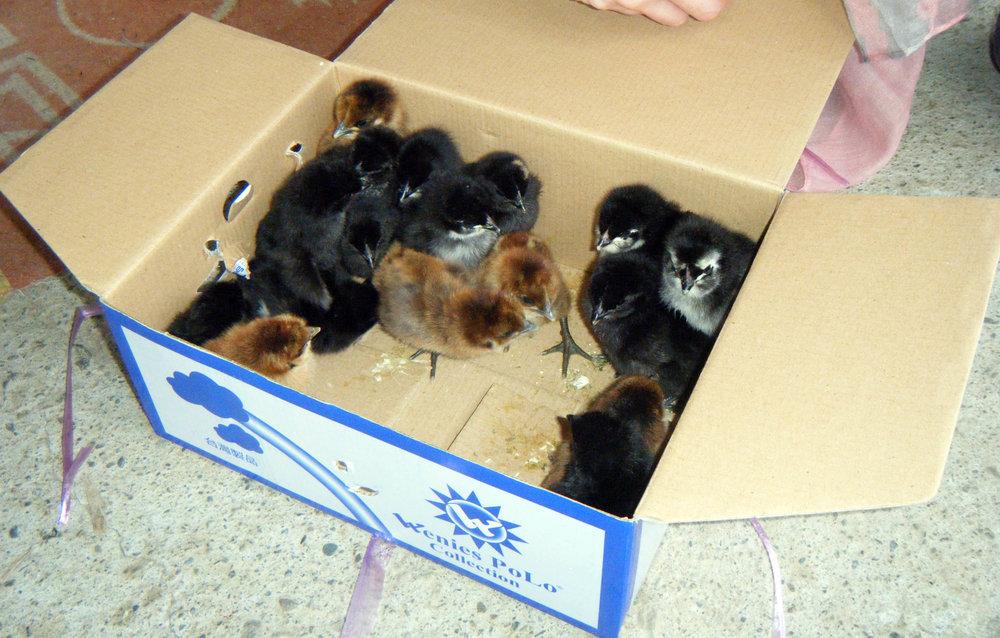 box of chicks.jpg