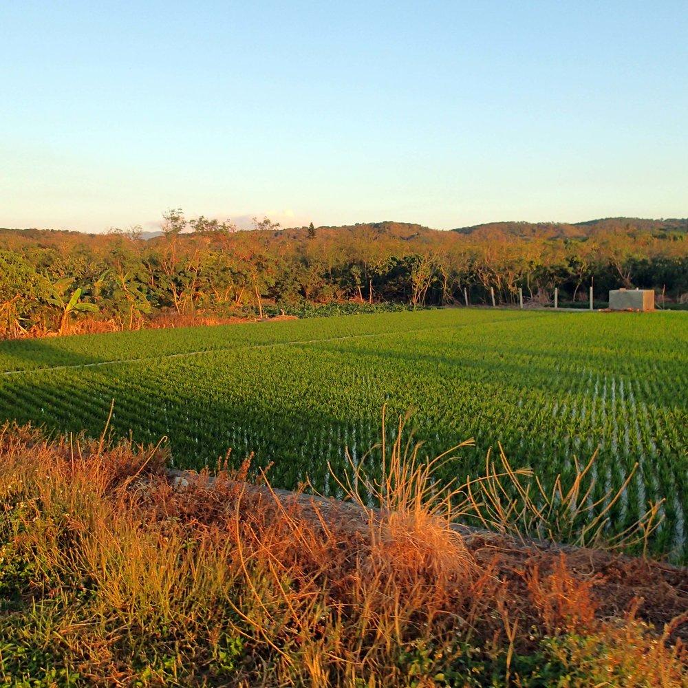 rice field near Sunset Red.jpg