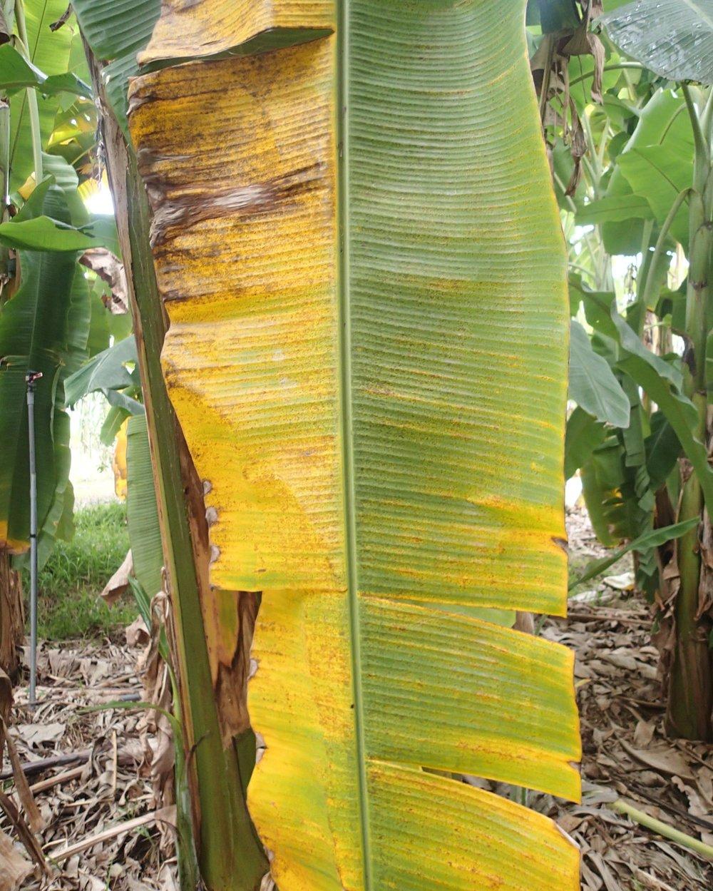 diseased banana leaf.jpg