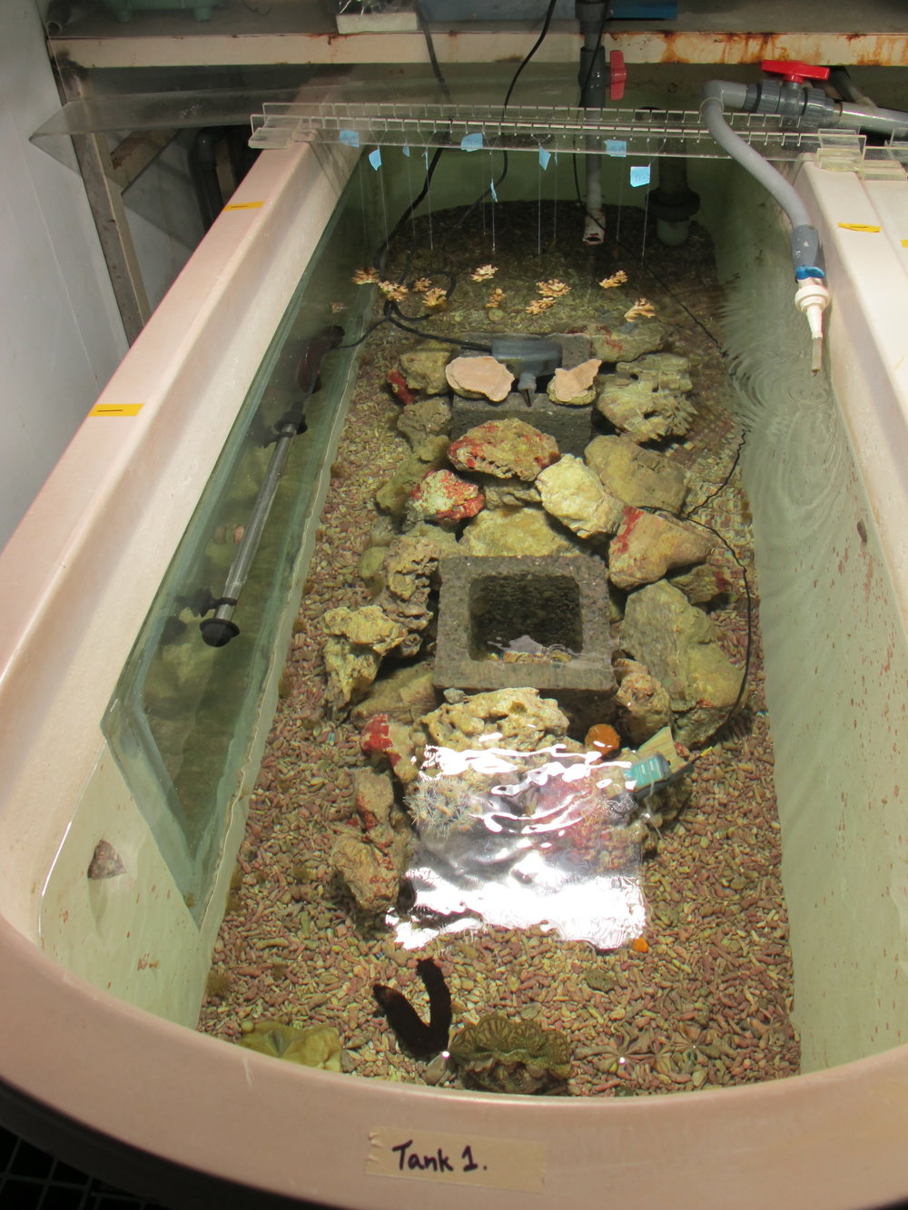 tank 1 with nubbins.JPG
