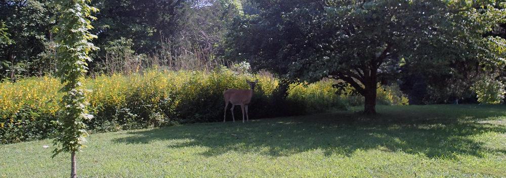 deer at mom's house.jpg