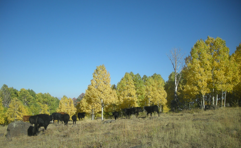cows and aspen.jpg