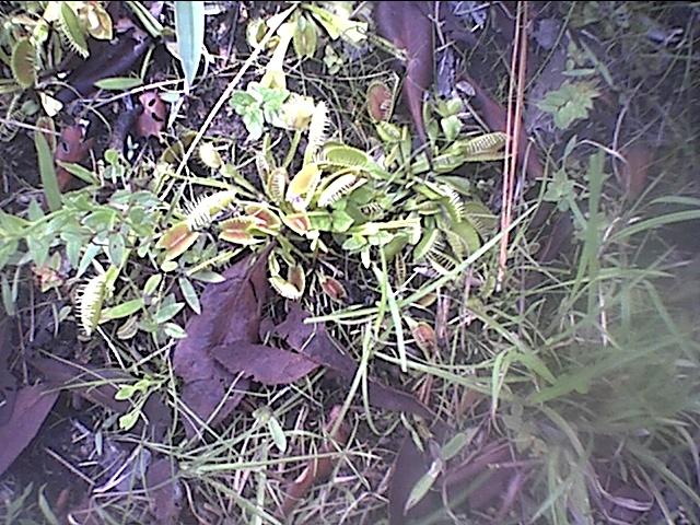 venus flytraps.JPG