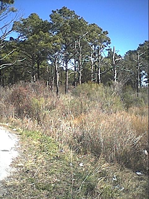 cedar island forest.JPG